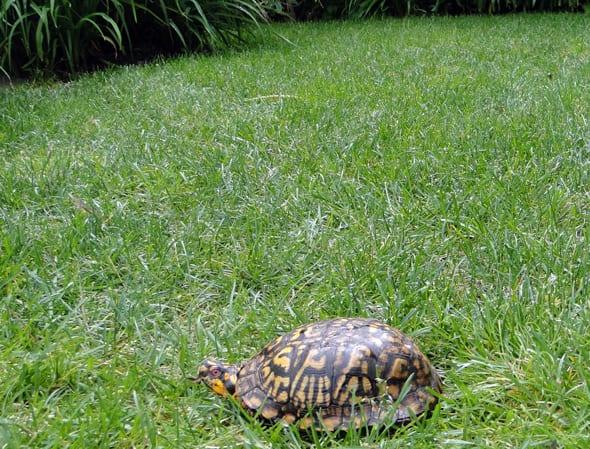 Unusual wildlife in my garden a turtle