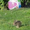 Wildlife in my garden bunny