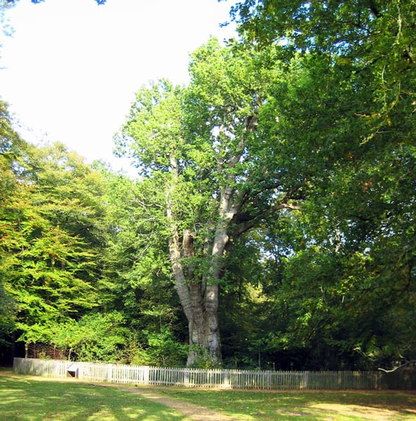 Knightwood Oak in the New Forest