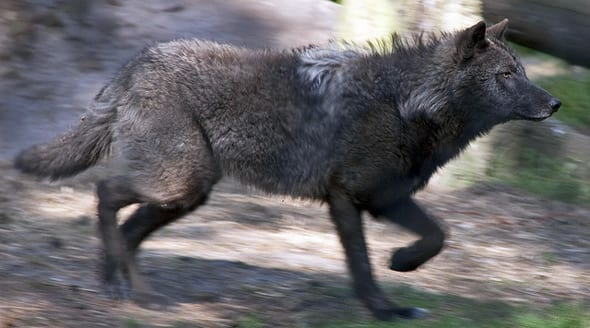 Wolf at New Forest Wildlife Park
