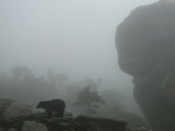 Silent Sunday 8 Bear on Grandfather Mountain