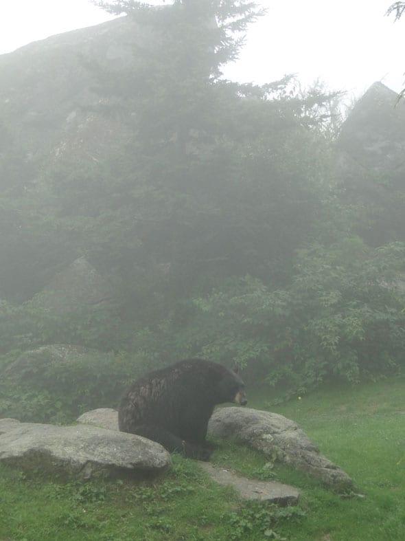 Bear on Grandfather Mountain