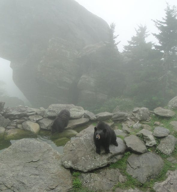 bears in the mist Grandfather Mountain