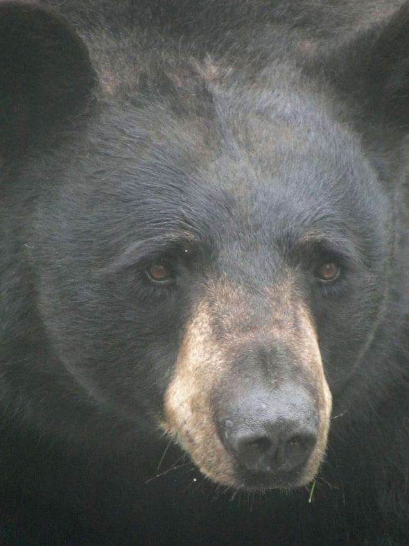 Bear face close up