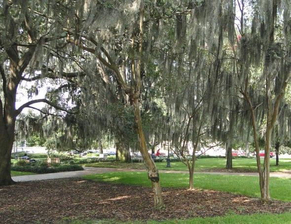 savannah hanging moss