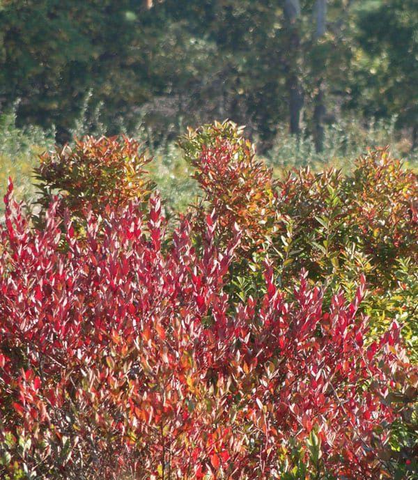 red shrubs
