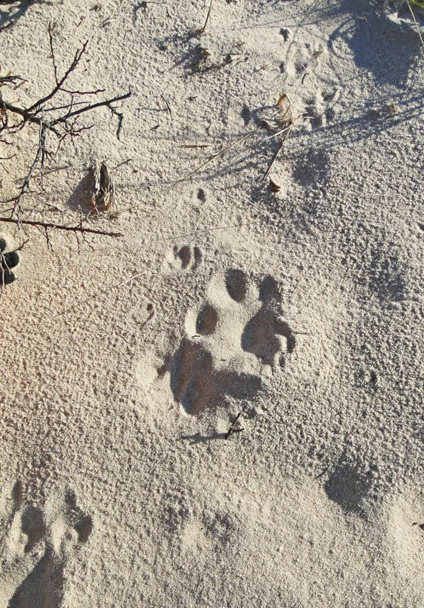animal tracks sand