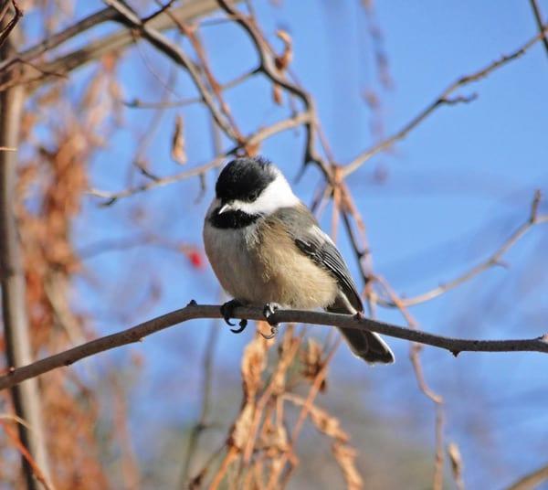 black capped chickadee morton national wildlife refuge