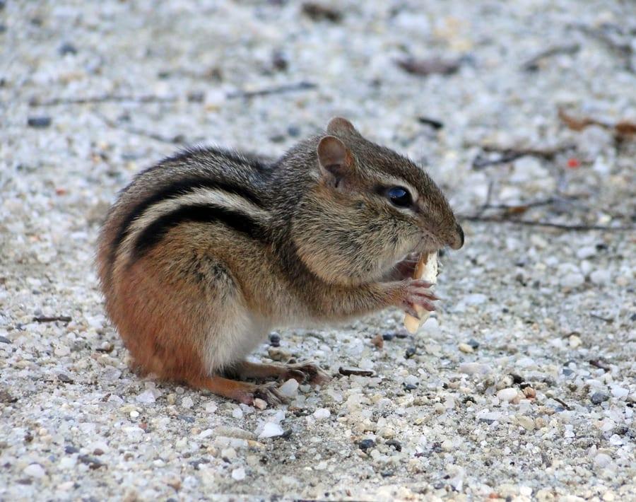 eastern chipmunk morton wildlife refuge