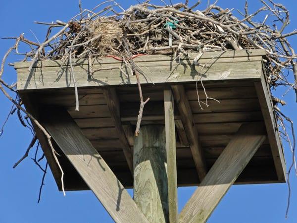 close up Osprey nest