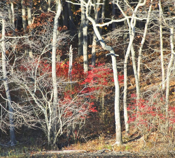 white trees, red leaves