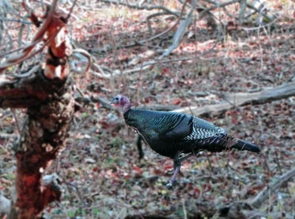 turkey morton refuge woods