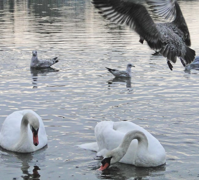 seagull swooping swans