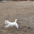 west highland terrier running