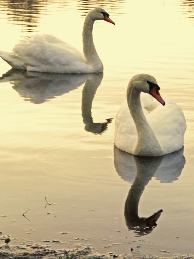 odette siegfried swan lake