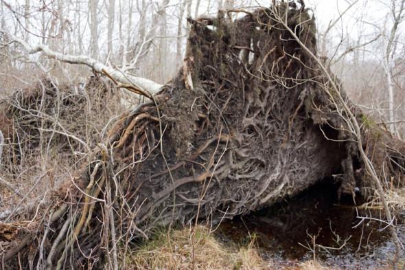overturned tree swamp