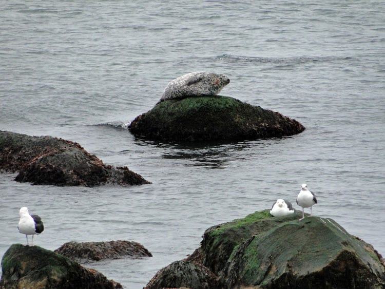 gulls seal hauling out