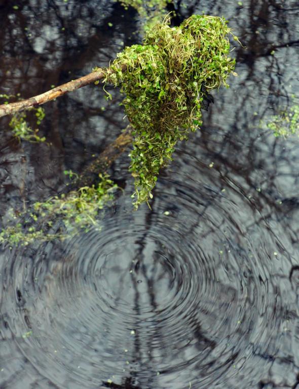 ripples moss swamp