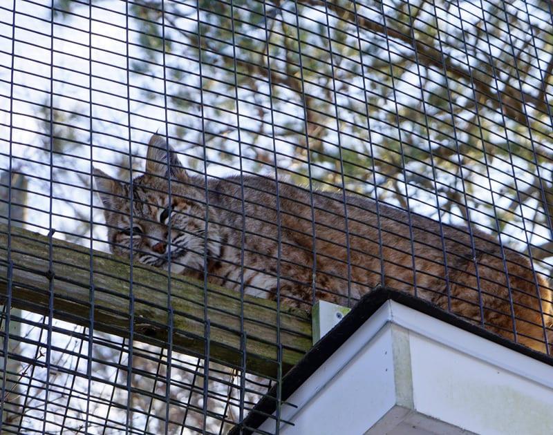 Quogue Wildlife Refuge bobcat
