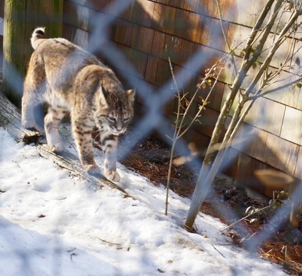 bobcat quogue wildlife refuge