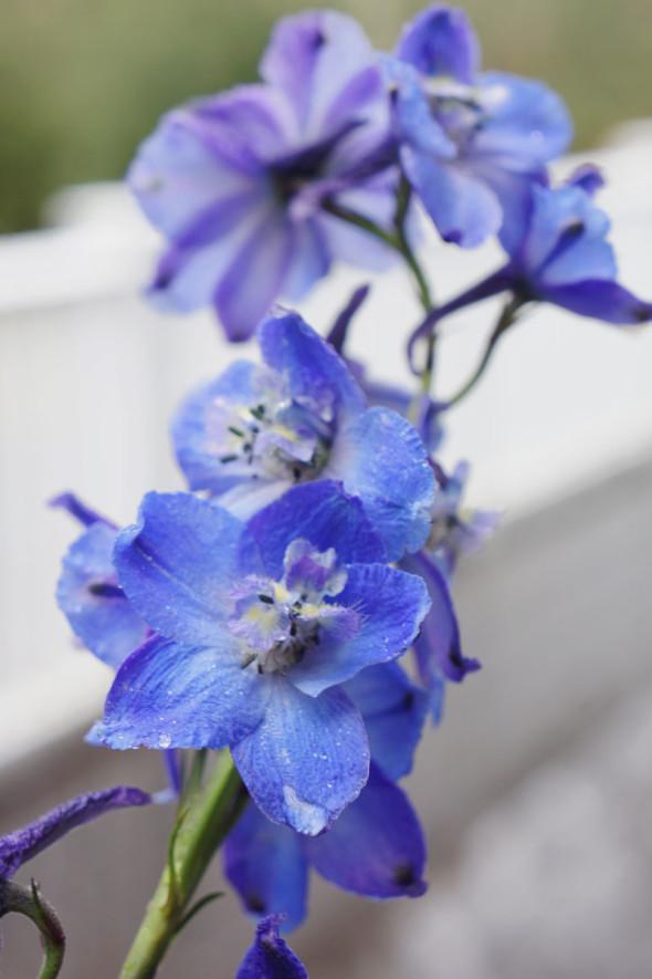 blue flowers nature