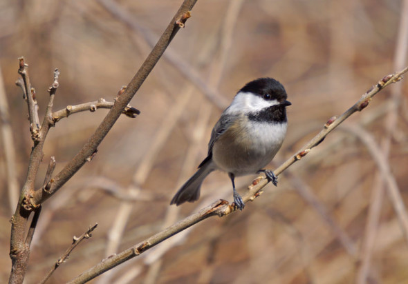 chicadee in our garden