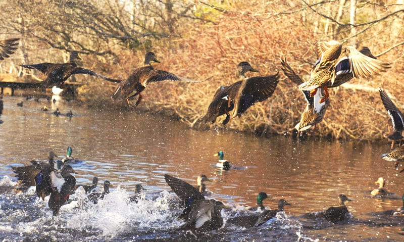 ducks flying out water