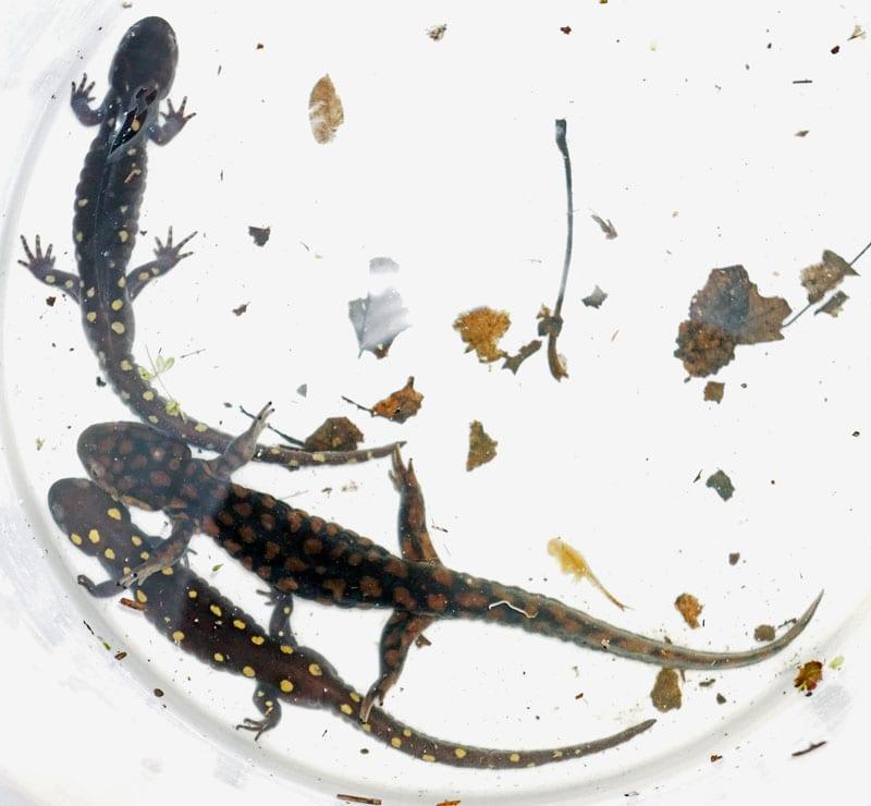 eastern tiger salamander spotted salamander