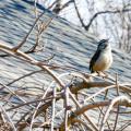 singing bird silent sunday