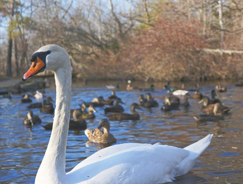 Swan and ducks on Nature Trail
