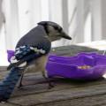 blue jay feeding patio table