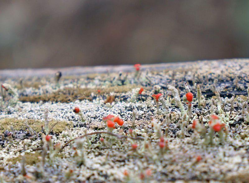 british-soldiers-lichen