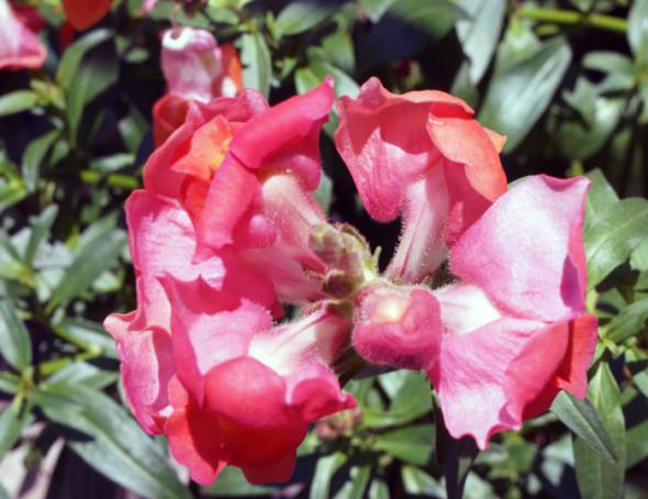 CU flower Owen Thomas garden