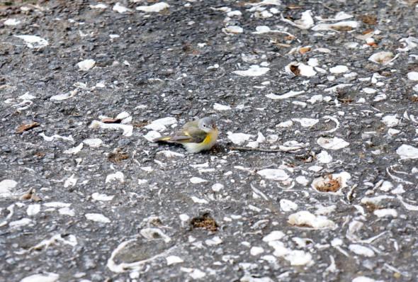 little bird on pavement