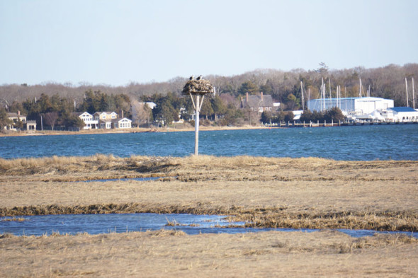 osprey nest sammy's beach preserve