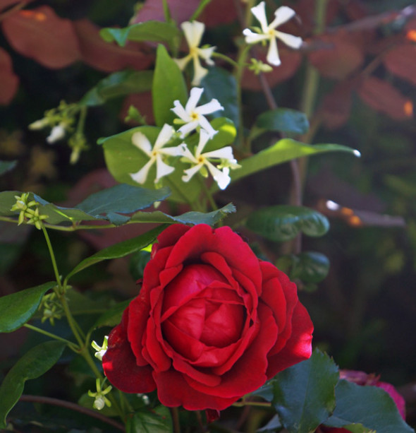 red rose white flowers