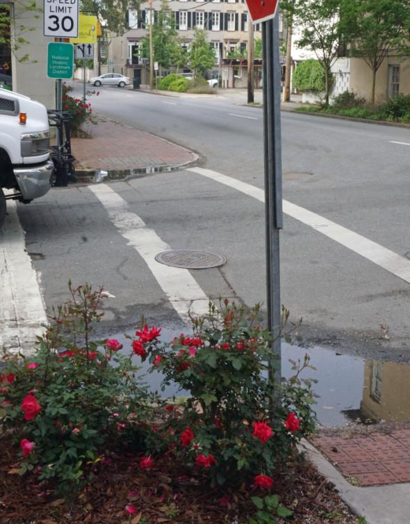rose bush savannah street corner