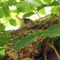 American Robin brooding in nest