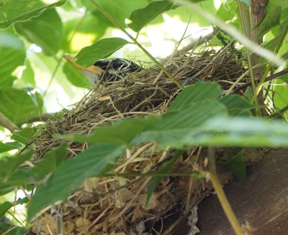 American Robin in nest