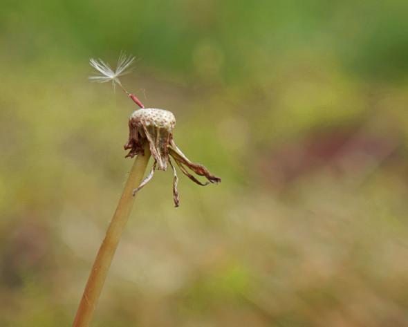 single dandelion seed