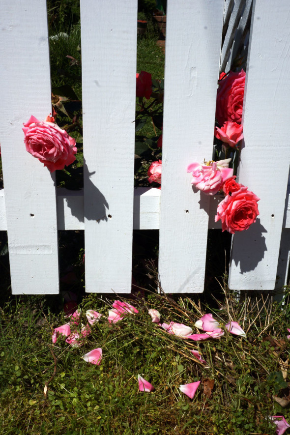 Pink roses, fence and petals