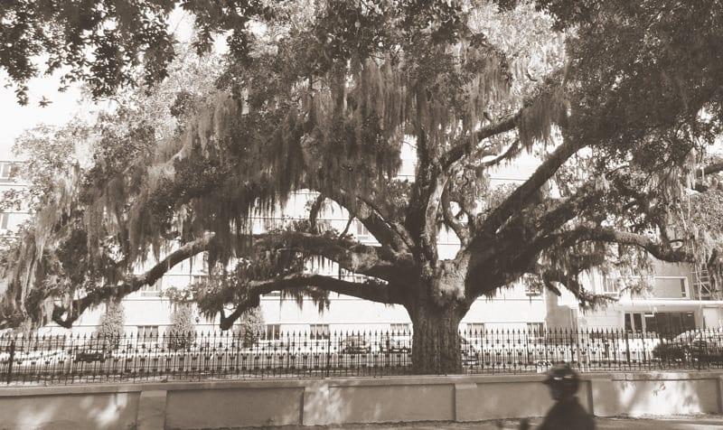 Candler Oak in Savannah