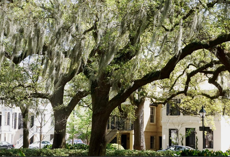 Live oaks in Savannah with hanging moss