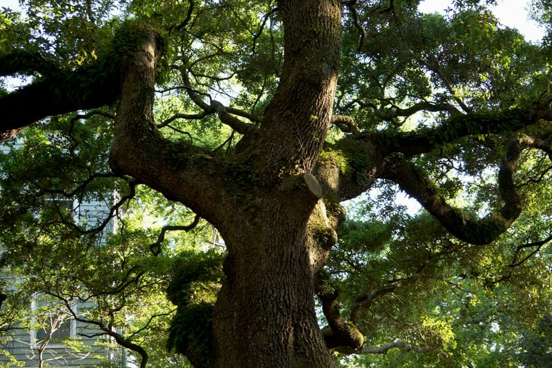 live oak trunk