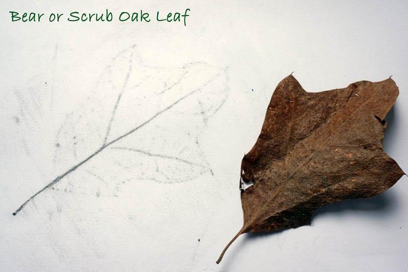 Nature Detectives Bear or Scrub Oak leaf id