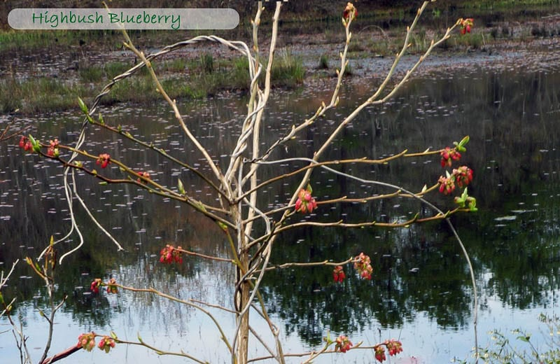 Nature Detectives highbush blueberry
