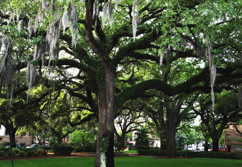 Live oak and hanging moss in a Savannah square