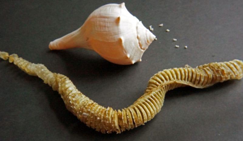 whelk string egg capsule