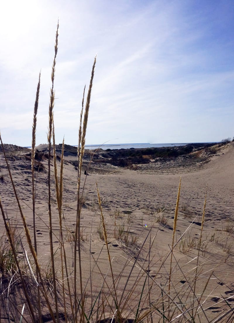 American Beach Grass and U shaped Walking Dune