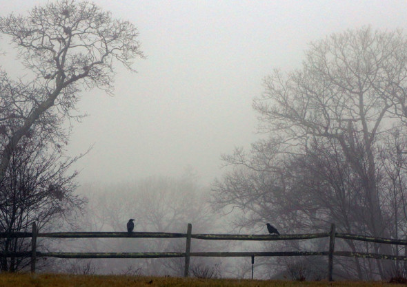 crows sitting on fence in mist